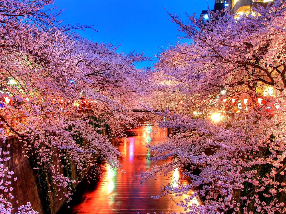 Fioritura Sakura Meguro River (目黒川) Tokyo
