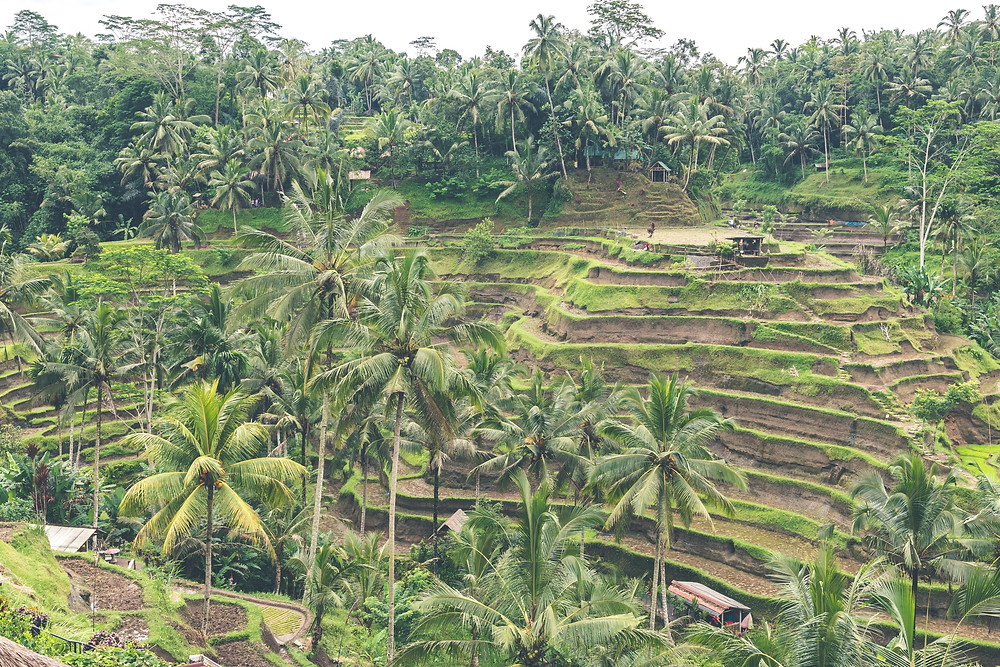Dry rice fields in Indonesia