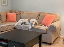 Zack - Retired Greyhound