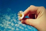 a daisy being held between finger and thumb