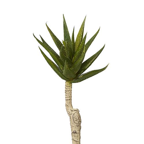 Aloe Stem