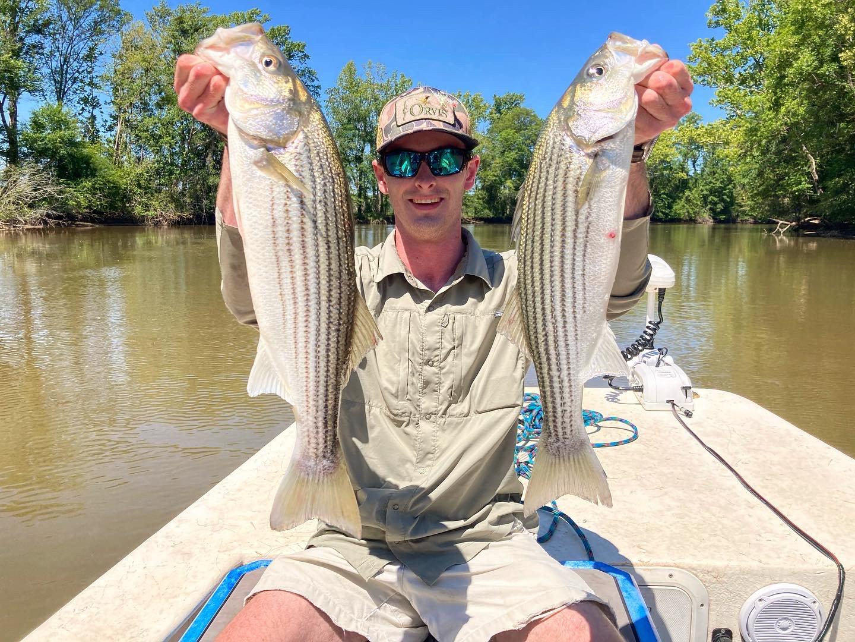 Post-Spawn Striped Bass