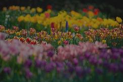 tulips-website.jpg