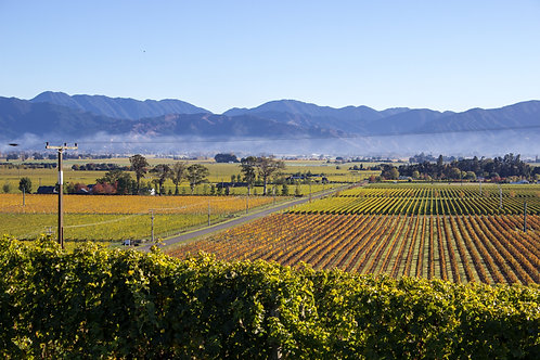 Marlborough Vines in  Autumn #5