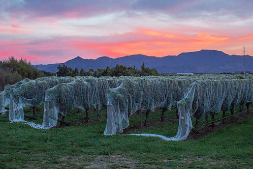 Sunrise over Marlborough Vineyards #2