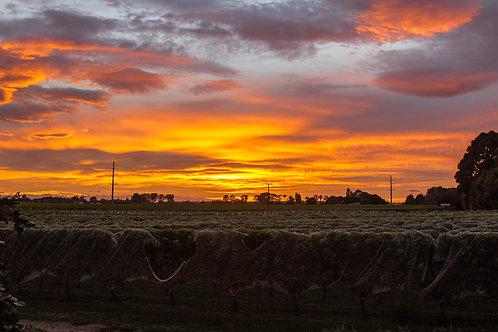 Sunrise over Marlborough Vineyards
