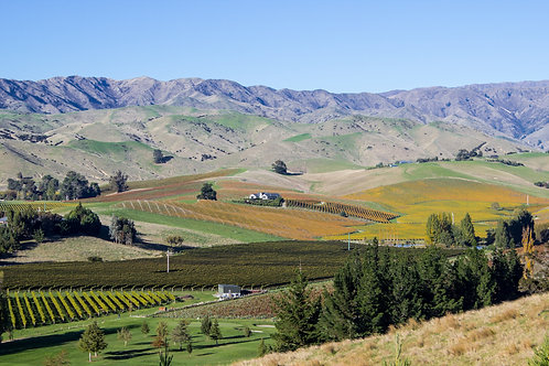 Marlborough Vines in  Autumn #6