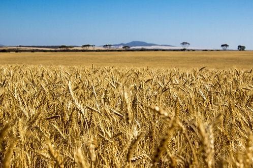 Buckleboo Harvest 5