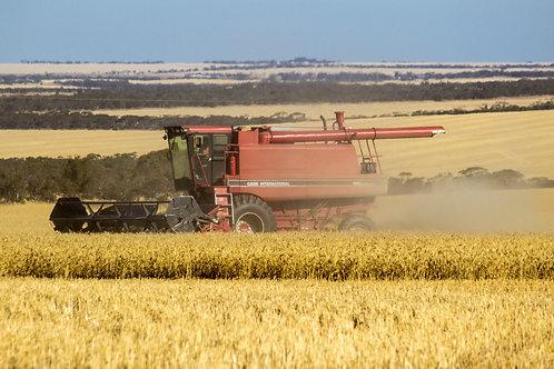 Buckleboo Harvest 3