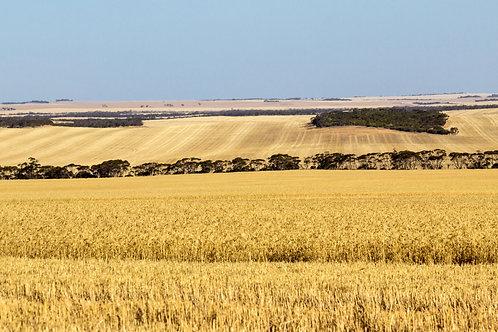 Buckleboo Harvest 4