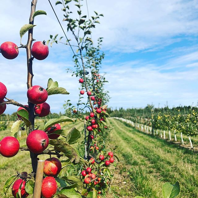 Cider orchard with traditional cider apples in Prince Edward County.
