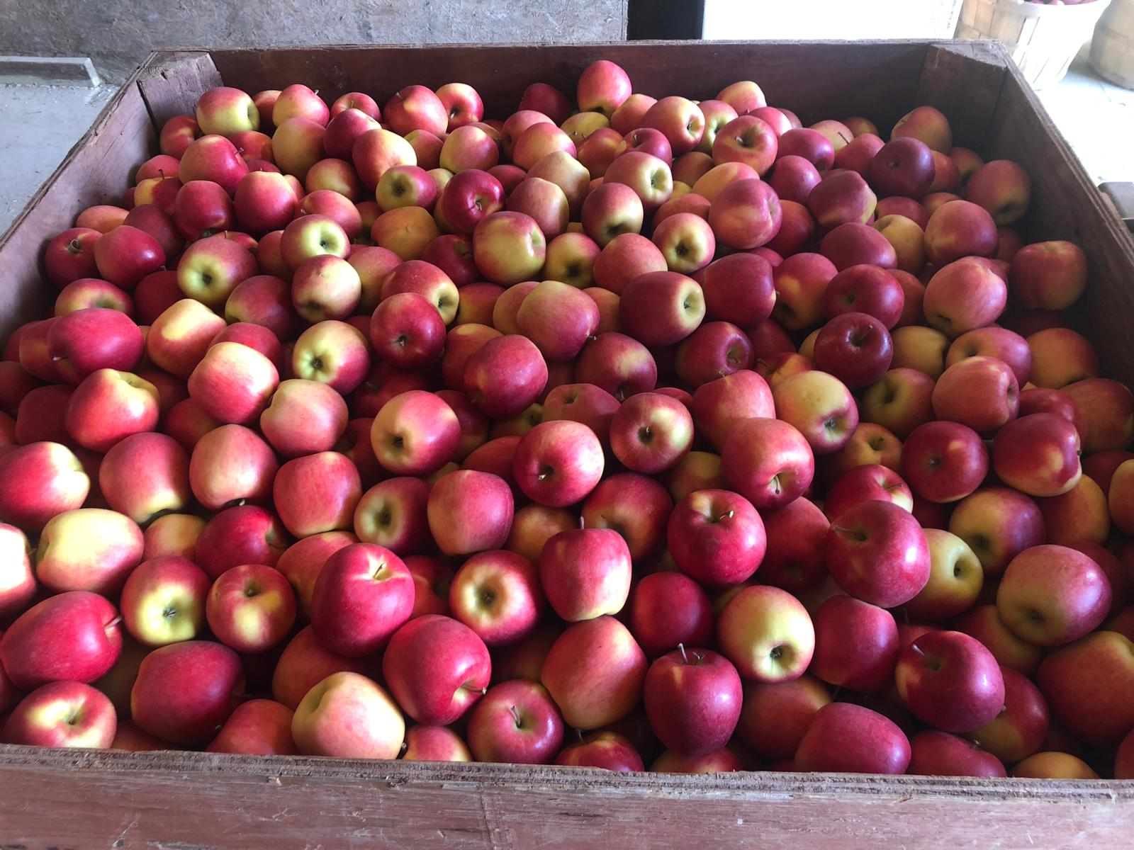 Locally sourced apples for craft cider in PEC