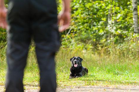 Dog-Dog_Guide-Teaching_a_Black_Labrador_