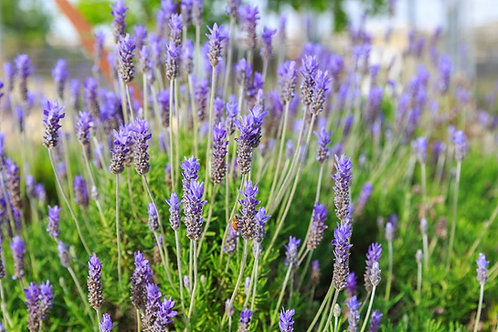 Lavender Vetiver