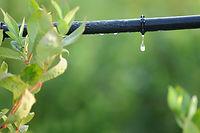 קניית עצי פרי - מים
