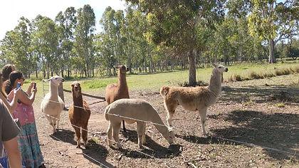 llamas and alapacas.jpg