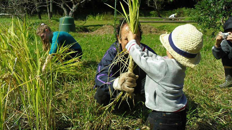 Harvesting Rice004.jpg