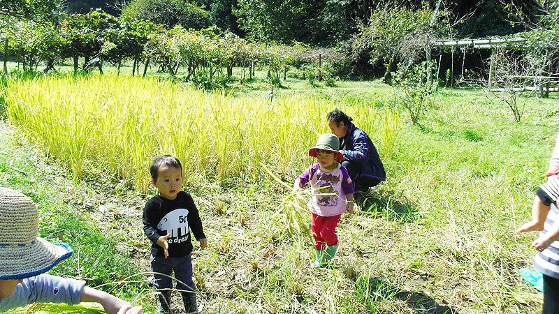 Harvesting Rice003.jpg