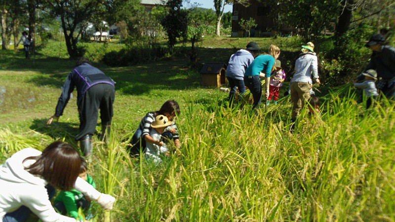 Harvesting Rice006.jpg