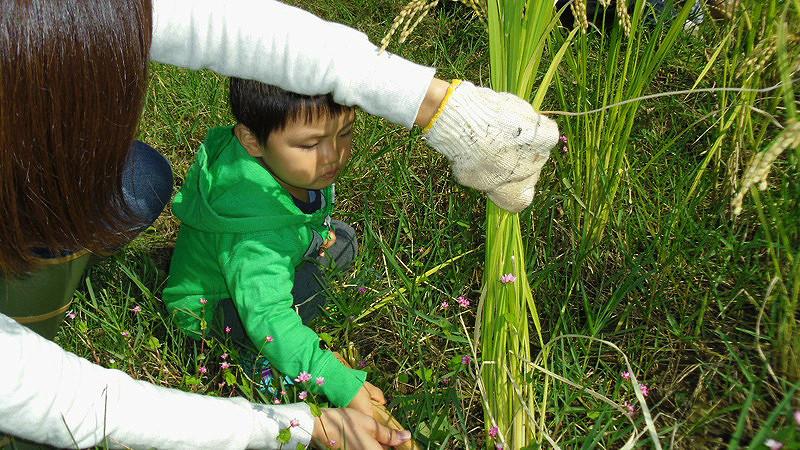 Harvesting Rice002.jpg
