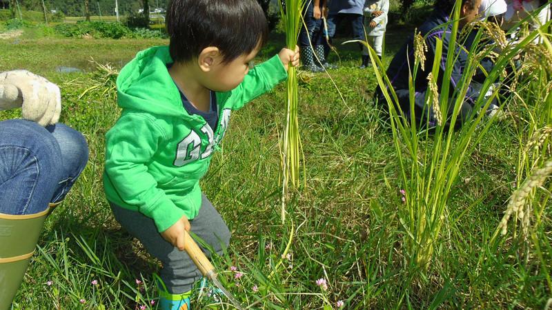 Harvesting Rice001.jpg