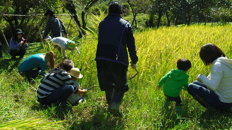 Harvesting Rice005.jpg