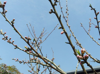 The plum blossoms just started blooming !