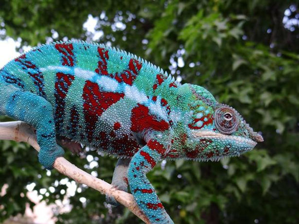 Ambanja panther chameleon | Prehistoric Folks