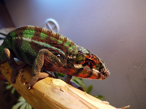 Diego Suarez panther chameleon | Prehistoric Folks