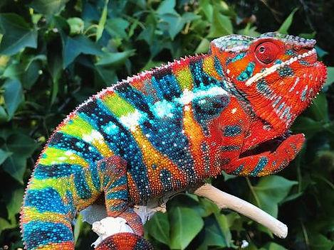 Amilobe panther chameleon | Prehistoric Folks