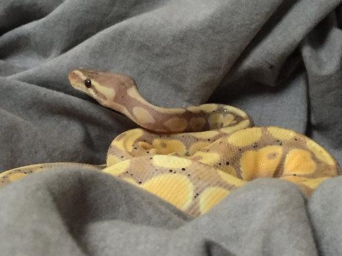 Subadult Banana Het Clown Ball Python