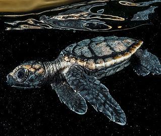 hawksbill-sea-turtle-thumbnail-2461160.j