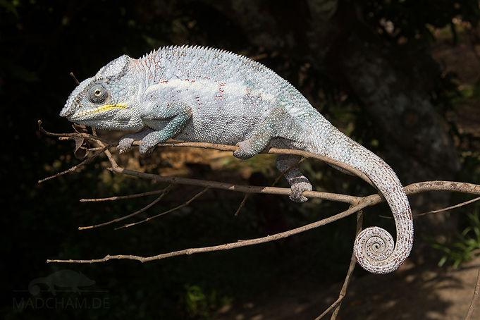 Fenoarivo panther chameleon | Prehistoric Folks