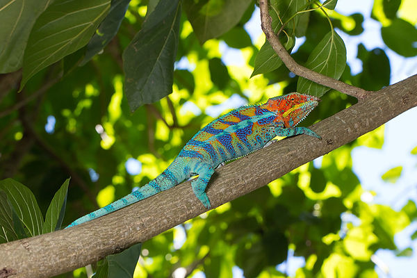 Nosy Tanikely panther chameleon | Prehistoric Folks