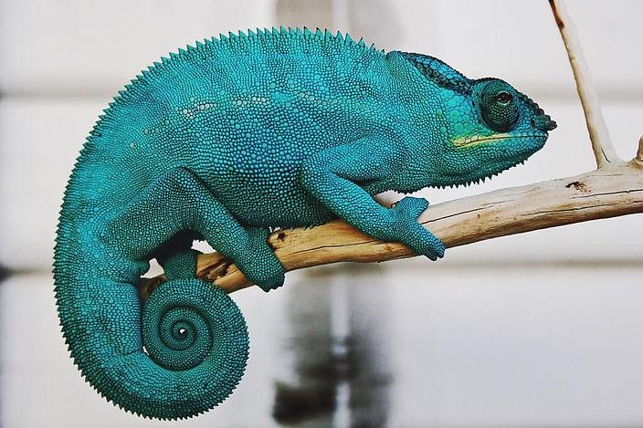 Nosy Be panther chameleon | Prehistoric Folks