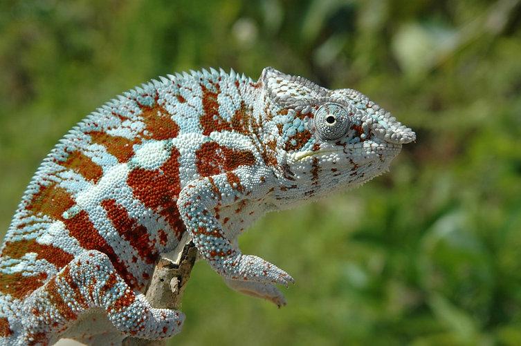 Masoala panther chameleon | Prehistoric Folks