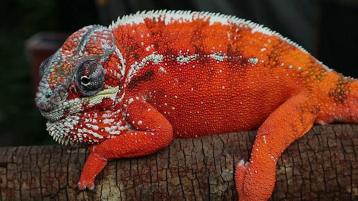 Tamatave panther chameleon | Prehistoric Folks