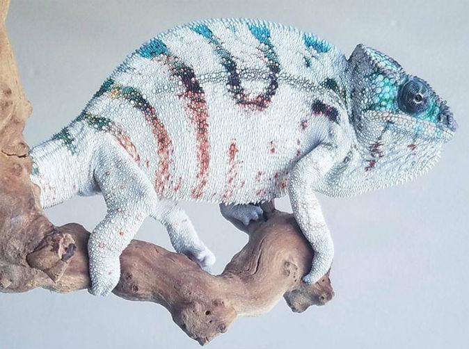 Nosy Boraha panther chameleon | Prehistoric Folks