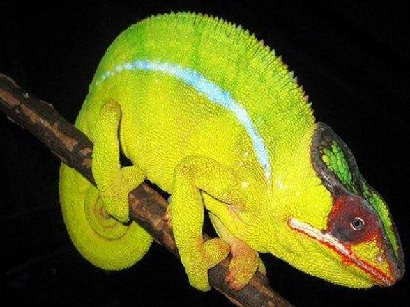 Nosy Mitsio panther chameleon | Prehistoric Folks