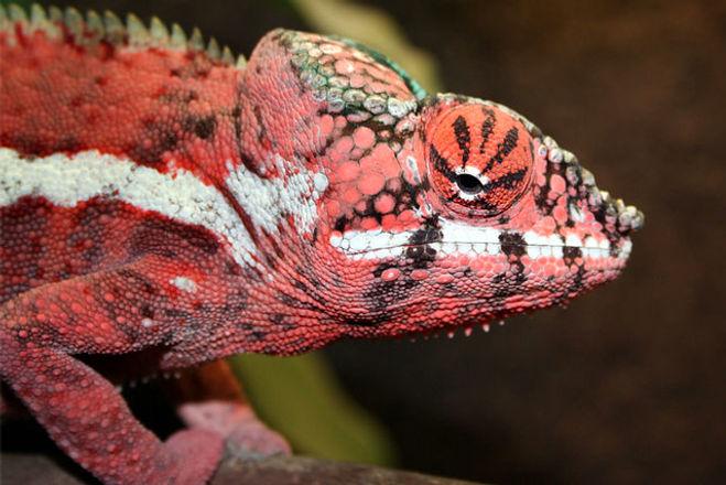 Nosy Radama panther chameleon | Prehistoric Folks