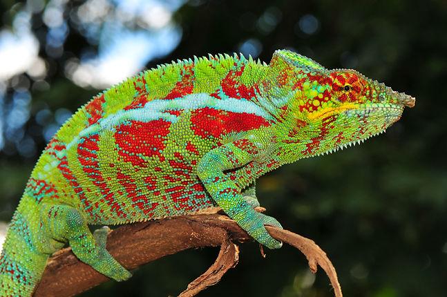 Marojeji panther chameleon | Prehistoric Folks