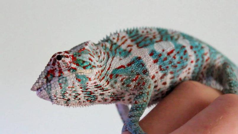 Nosy Faly panther chameleon | Prehistoric Folks