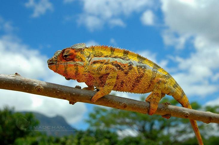 Andapa panther chameleon | Prehistoric Folks
