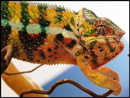 Mangaoka panther chameleon | Prehistoric Folks