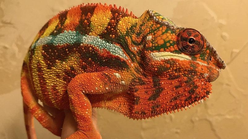Sambava panther chameleon | Prehistoric Folks