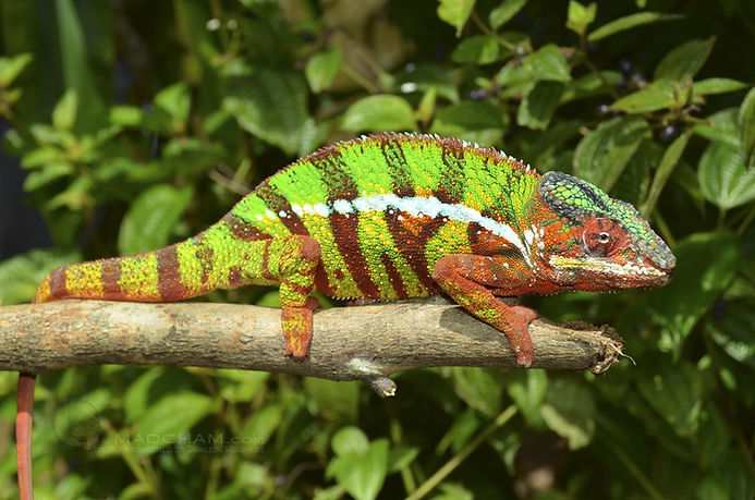 Mananara panther chameleon | Prehistoric Folks