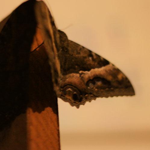 Wallace Costa - Moth (2016)
