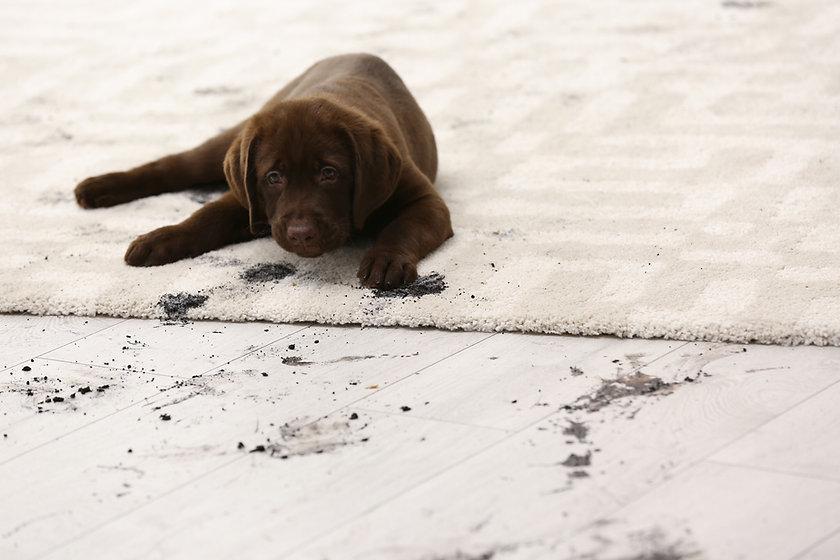 Cute dog leaving muddy paw prints on car