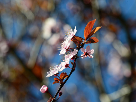 6. Cherry plum