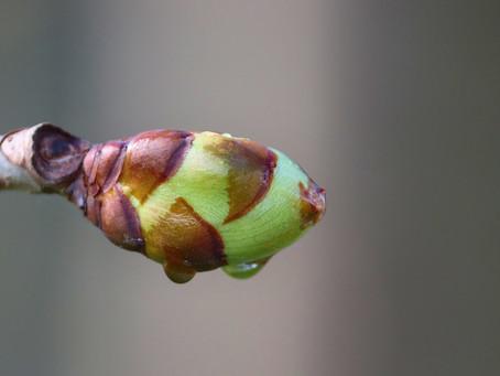 7. chestnut bud